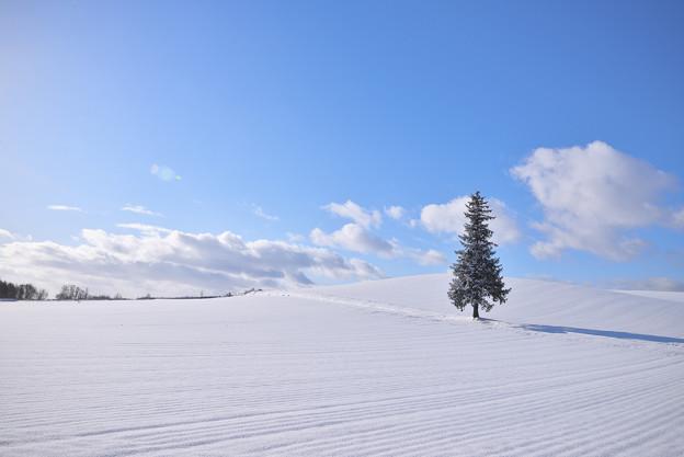 北海道|美瑛。聖誕の樹