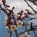 写真: 今シーズンの梅の花は早すぎた?