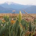 写真: 1月6日の水仙畑
