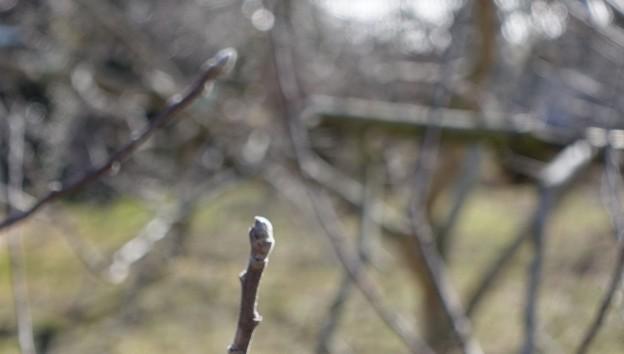 Photos: リンゴはまだまだです。