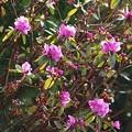 Photos: 蝦夷紫躑躅