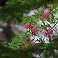 Photos: 紫八汐躑躅