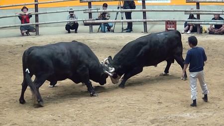 宇和島闘牛和霊大祭場所04 重量級チャンピオン戦 天龍若力vs牙狼