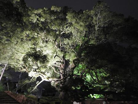 青蓮院門跡(ライトアップ)02 楠