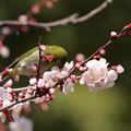 写真: 梅とメジロ