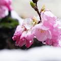 写真: 桜と雪