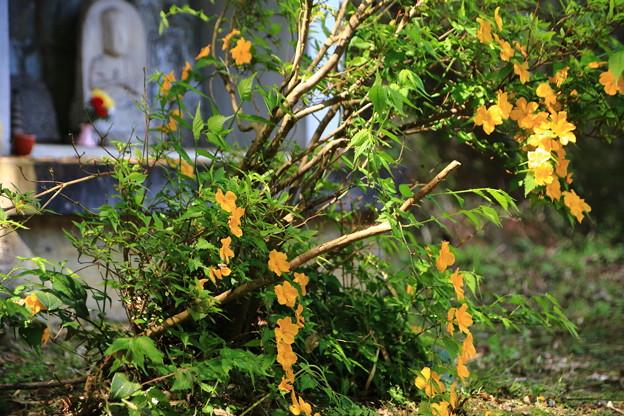 裏庭のヤマブキ