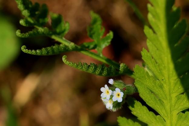 裏庭の小っちゃい花