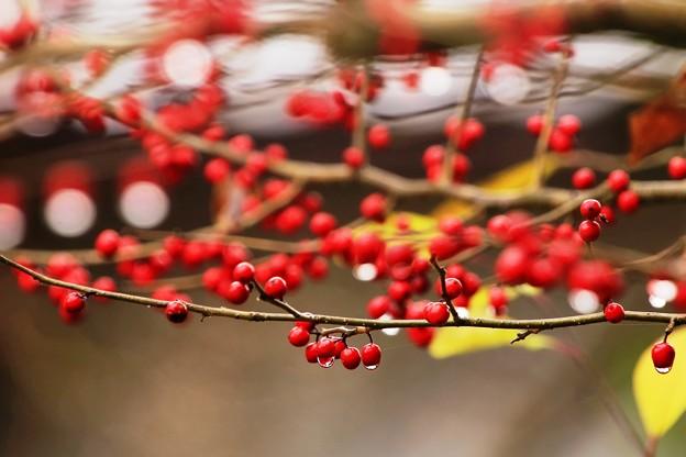 裏庭の赤い実