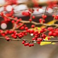 Photos: 裏庭の赤い実