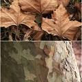 写真: こんな葉っぱ・樹皮でした(スルーしてください)