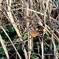 鳥撮り03 ホオジロ(オス)
