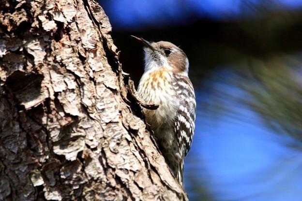 鳥撮り05 コゲラ