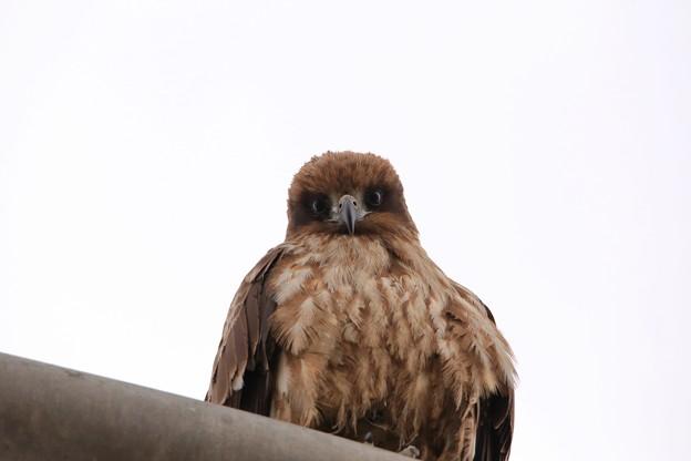鳥撮り24 トビ