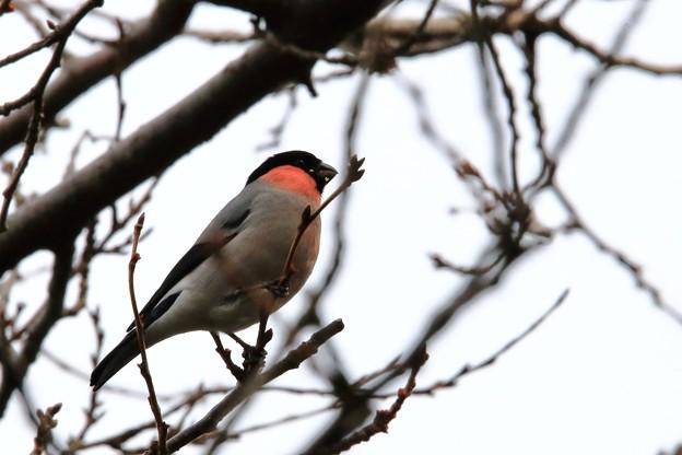 鳥撮り26 ウソ