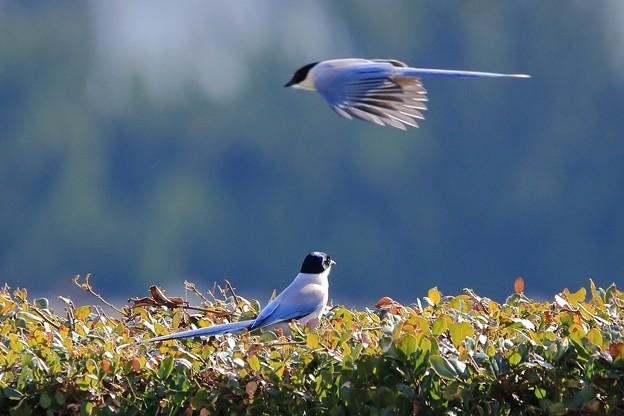 鳥撮り34 オナガ