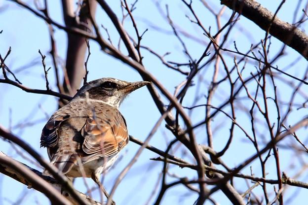 鳥撮り38 ツグミ