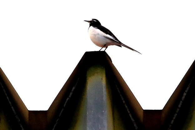 鳥撮り41 セグロセキレイ