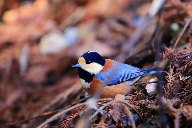 鳥撮り48 ヤマガラ