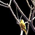 鳥撮り番外01 カワラヒワ
