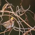 鳥撮り55 ミヤマホオジロ