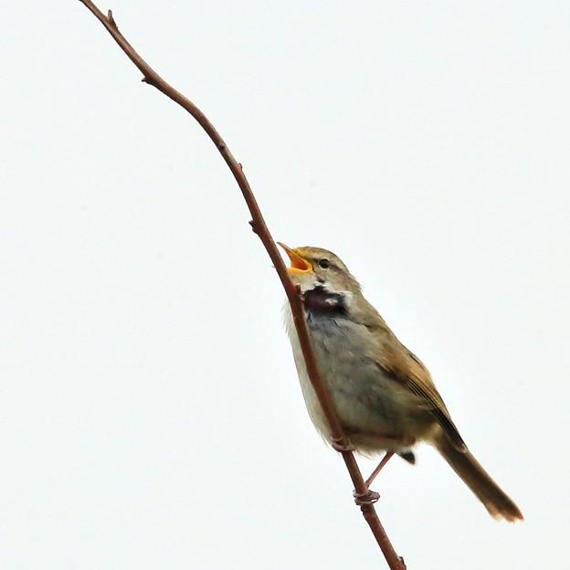 鳥撮り072 ウグイス