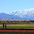 Photos: 舟川べり 春の四重奏 01