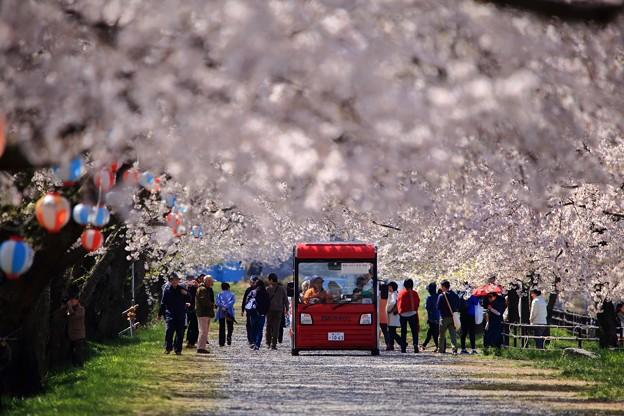 舟川べり桜並木 01