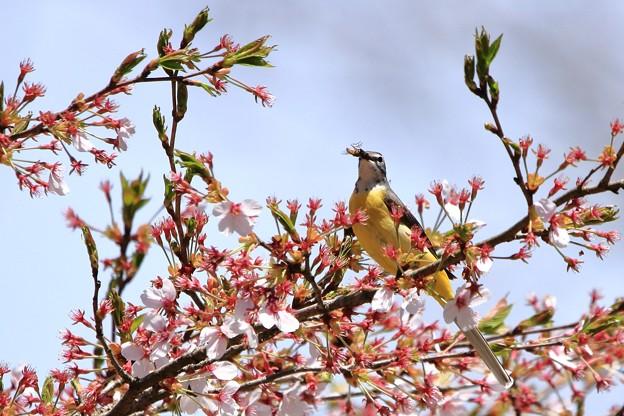 鳥撮り083 キセキレイ