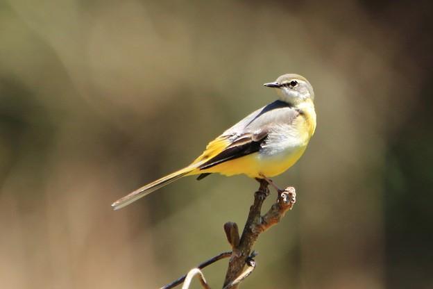 鳥撮り086 キセキレイ