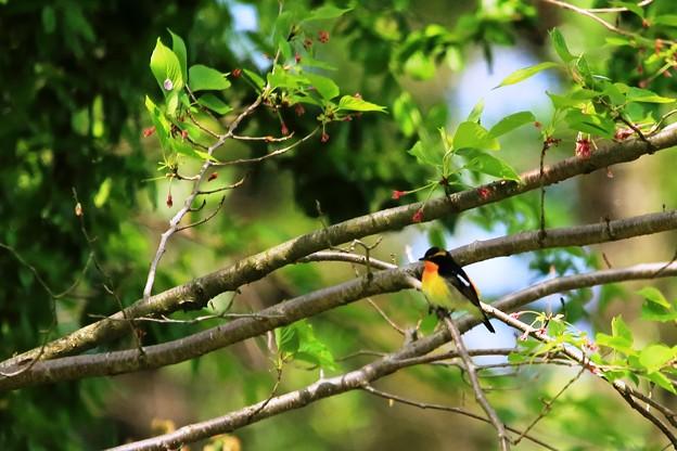 鳥撮り番外 キビタキ