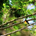 Photos: 鳥撮り番外 キビタキ
