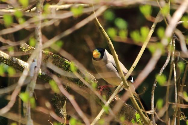 鳥撮り番外 イカル