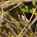 Photos: 鳥撮り番外 イカル