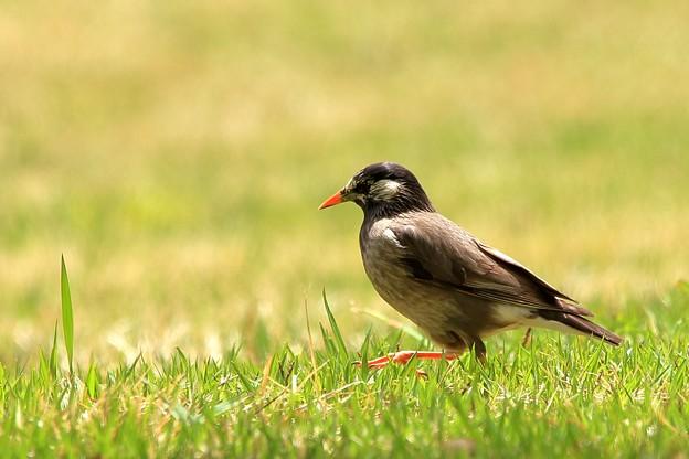 鳥撮り087 ムクドリ
