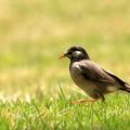 Photos: 鳥撮り087 ムクドリ