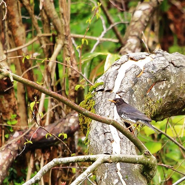 鳥撮り091 クロツグミ