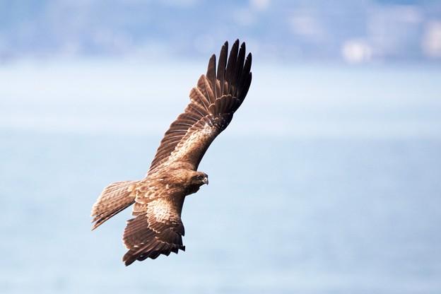 鳥撮り092 トビ