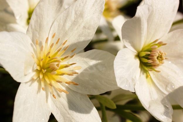 庭の花たち クレマチス01