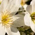 Photos: 庭の花たち クレマチス01