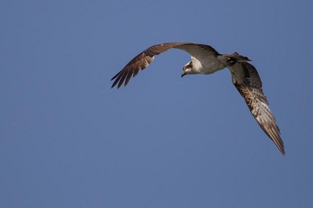 鳥撮り095 ミサゴ