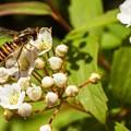 Photos: 咲き始めたコデマリ