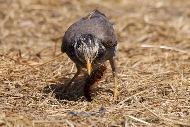 鳥撮り096 ムクドリ