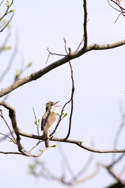 鳥撮り097 オオヨシキリ