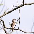 Photos: 鳥撮り097 オオヨシキリ