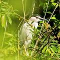 鳥撮り100 ゴイサギ?