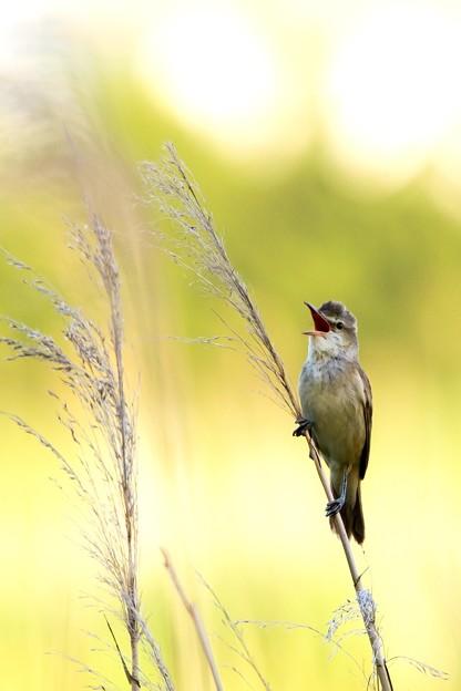 鳥撮り101 オオヨシキリ