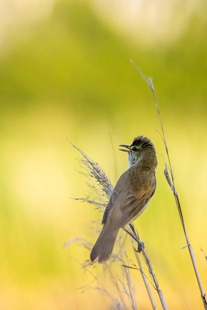 鳥撮り102 オオヨシキリ