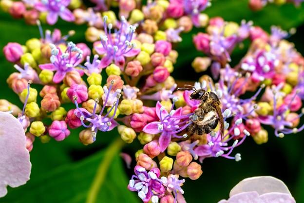 紫陽花に集う03