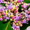 Photos: 紫陽花に集う03